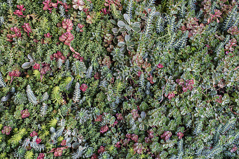 Bed of various variety of succulent plants by Preappy for Stocksy United