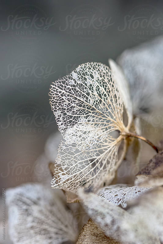 Delicate and fragile remains of a hydrangea blossom by Melanie Kintz for Stocksy United