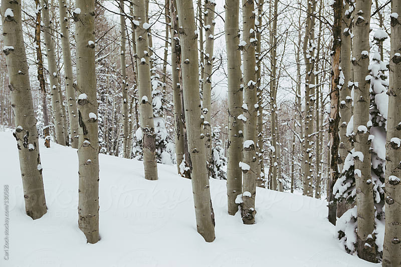 Aspen Trees in the Winter Snow by Carl Zoch for Stocksy United