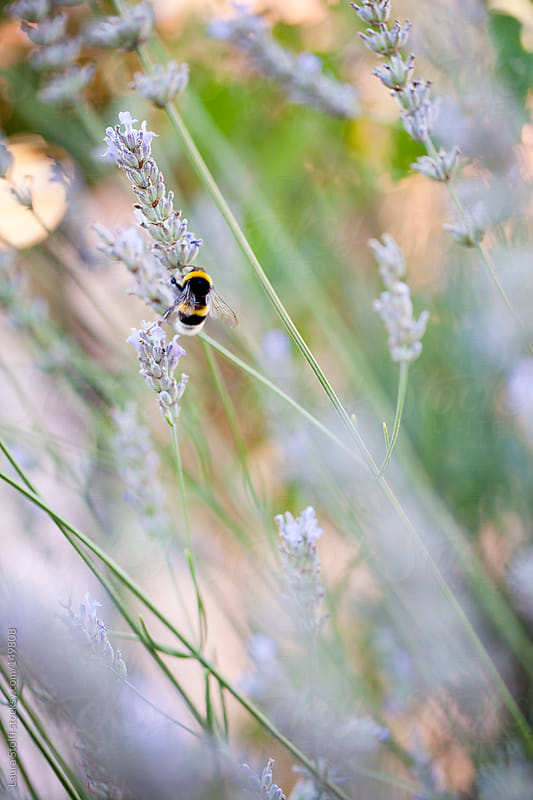 Close-up of bumblebee on lavender flower in sunny lawn by Laura Stolfi for Stocksy United