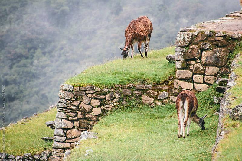 Llamas grazing on Machu Picchu terraces by Alejandro Moreno de Carlos for Stocksy United