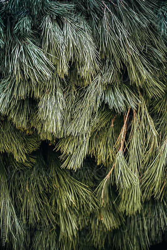 Mass of christmas tree branches by Vera Lair for Stocksy United