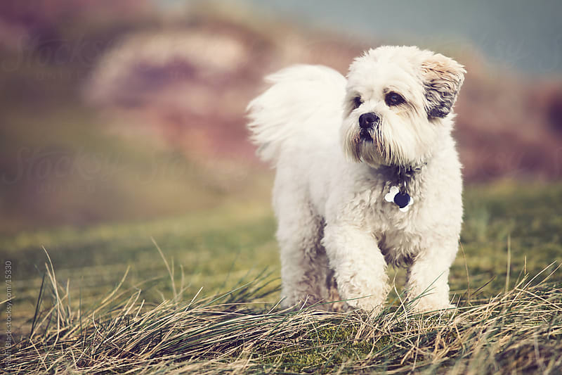 Lhasa apso in the outdoors by Ruth Black for Stocksy United