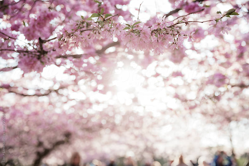Sunset through blurry pink branches of cherry blossom by Lior + Lone for Stocksy United