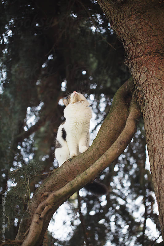 Cat sitting high on cedar tree with nose up by Laura Stolfi for Stocksy United