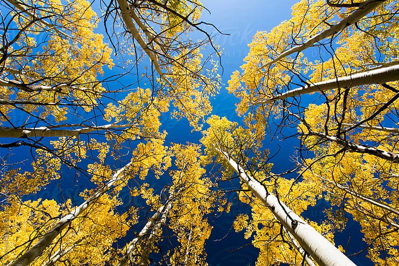 Aspen Trees by Michael Shainblum for Stocksy United