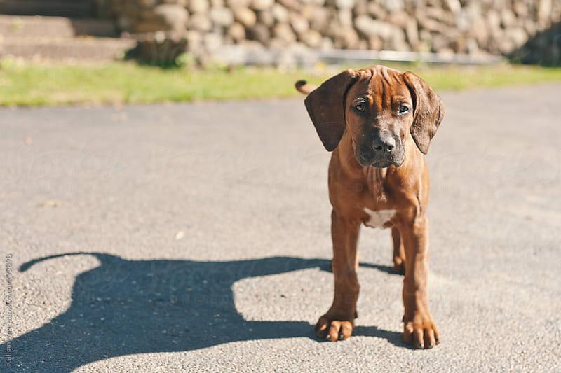 cute puppy by Gillian Vann for Stocksy United