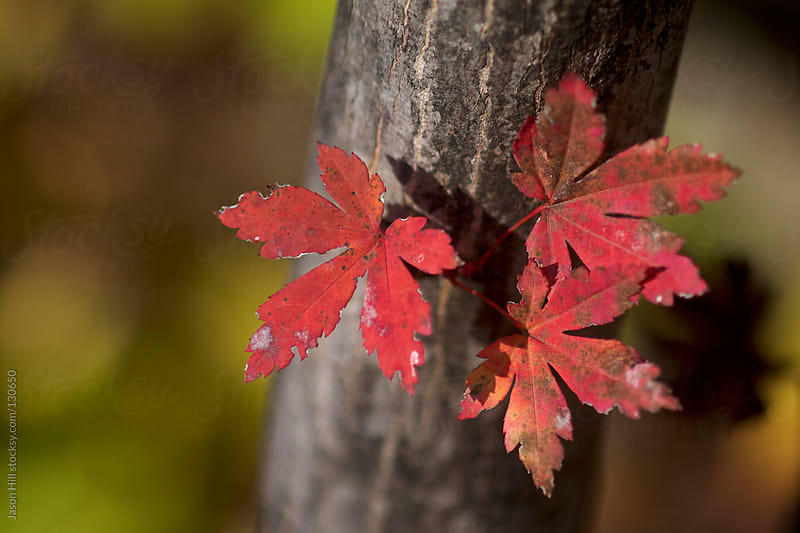 Three Red Autumn Leaves on a Tree by Jason Hill for Stocksy United