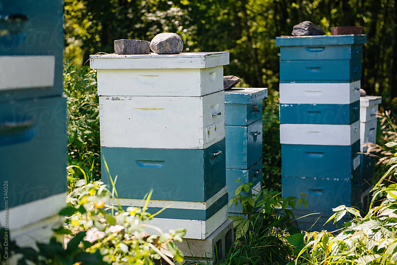 Bee hives outside in late summer by Cara Dolan for Stocksy United
