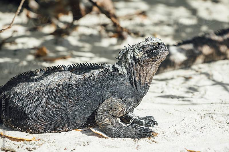 Galapagos Marine Iguana by Richard Brown for Stocksy United