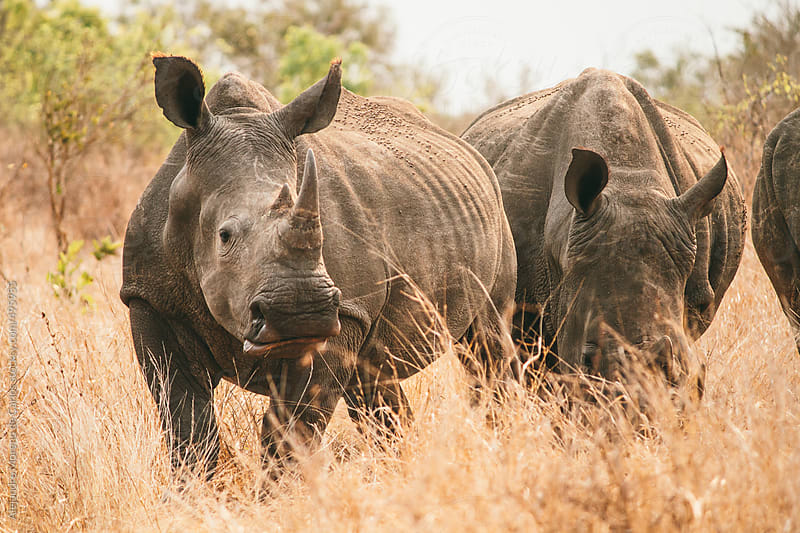 White rhinos on African savanna by Alejandro Moreno de Carlos for Stocksy United