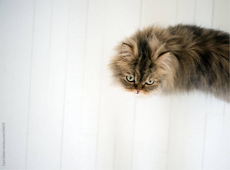 Brown Persian cat walks across white floor by Cara Dolan for Stocksy United