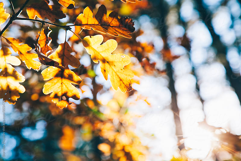 Sun Flares Through Autumn Leaves In Park by Borislav Zhuykov for Stocksy United