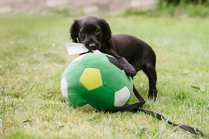 Small adorable puppy with a large soccer ball by Rebecca Spencer for Stocksy United