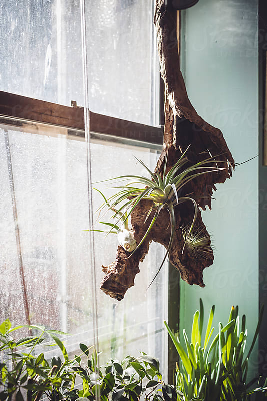 Air Plants on Driftwood Hanging by Window as Home Decoration by Joselito Briones for Stocksy United