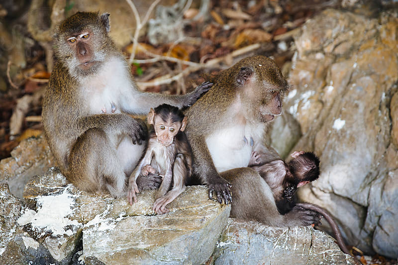 Monkey family on rocks by Andrey Pavlov for Stocksy United
