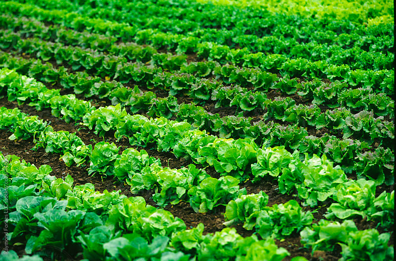 Lettuce at Local Farm in Massachusetts by Raymond Forbes LLC for Stocksy United