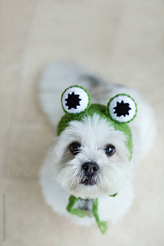 Lhasa apso in a frog hat by Ruth Black for Stocksy United