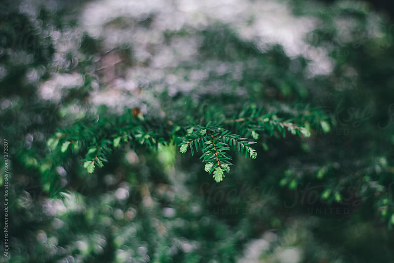 Pine tree green leaves closeup, abstract background by Alejandro Moreno de Carlos for Stocksy United