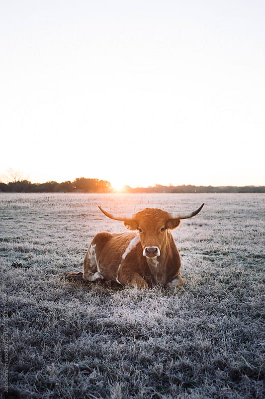 Texas Longhorns At Sunrise on Frosted Winter Grass by Jack Sorokin for Stocksy United