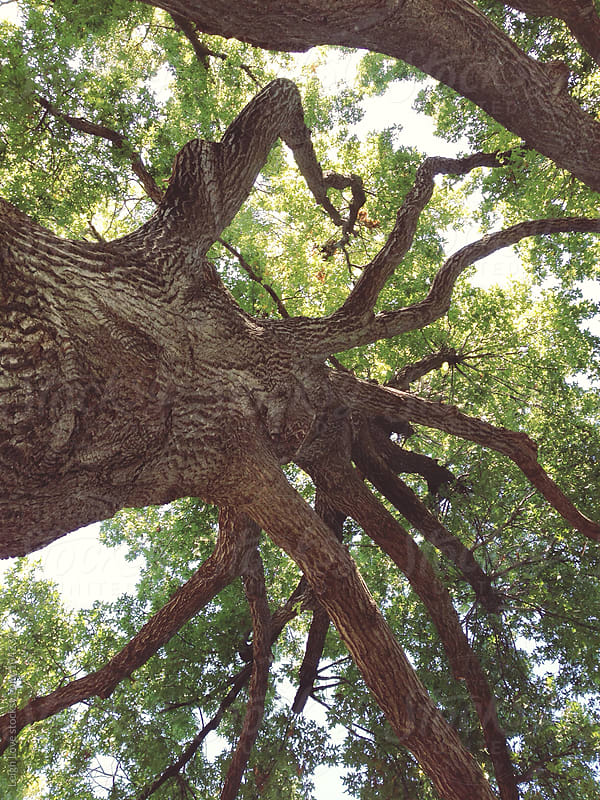 Looking Up Into An old Oak Tree by Leigh Love for Stocksy United