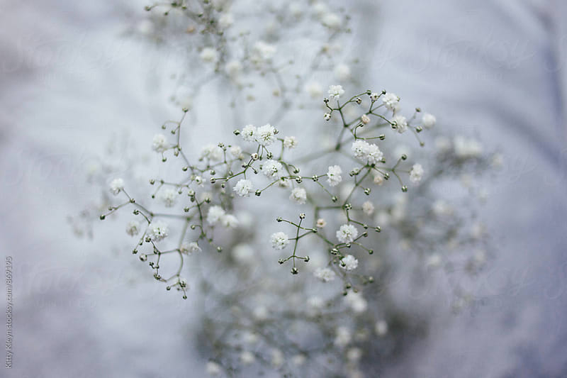 A close up of baby's breath by Kitty Gallannaugh for Stocksy United