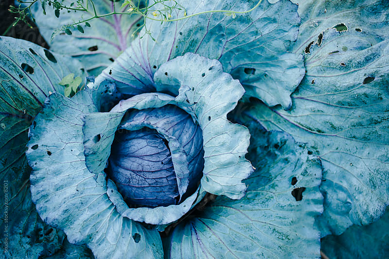Backyard Garden: Cabbage in the Vegetable Patch by Studio J, Inc. for Stocksy United