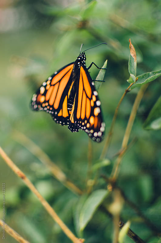 monarch butterfly on a bush by Deirdre Malfatto for Stocksy United
