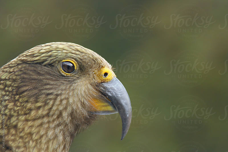 Closeup of a wild kea parrot in Arthur's Pass National Park, New Zealand. by Kaat Zoetekouw for Stocksy United