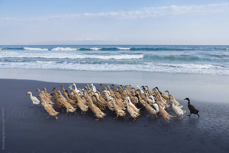 Flock of Ducks walking on Beach by Felix Hug for Stocksy United