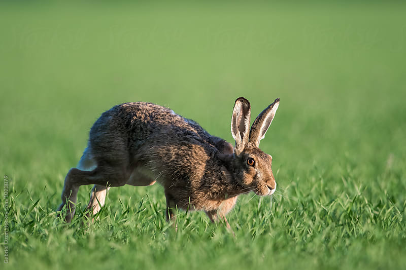 Hare by Gabriel Ozon for Stocksy United