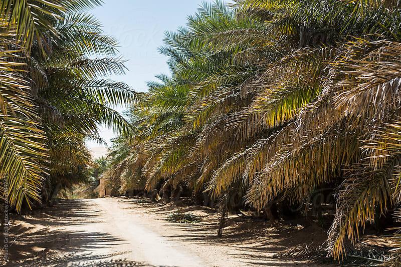 Dates Plantation, Dubai,  United Arab Emirates by Mauro Grigollo for Stocksy United