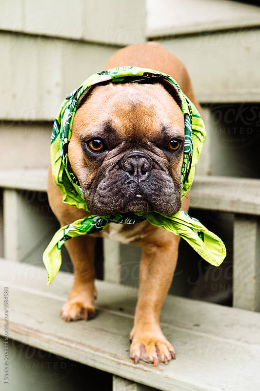 A french bulldog puppy dressed as a babushka in scarf by J Danielle Wehunt for Stocksy United