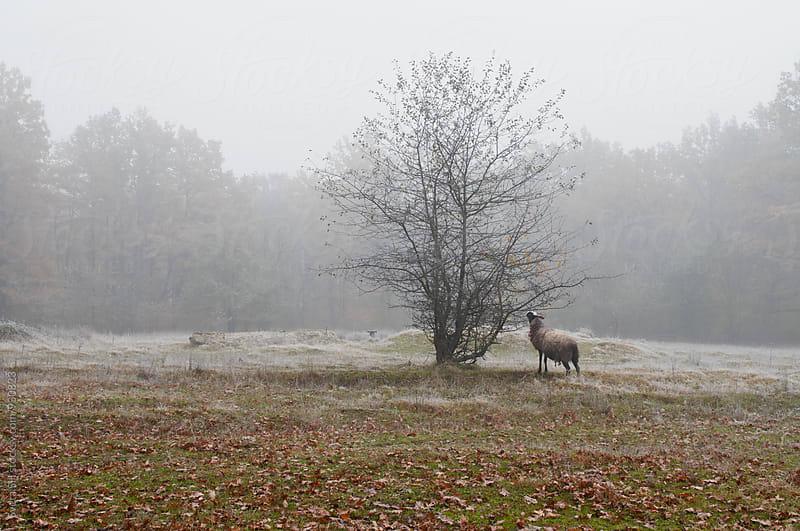 Sheep by Svetlana Shchemeleva for Stocksy United