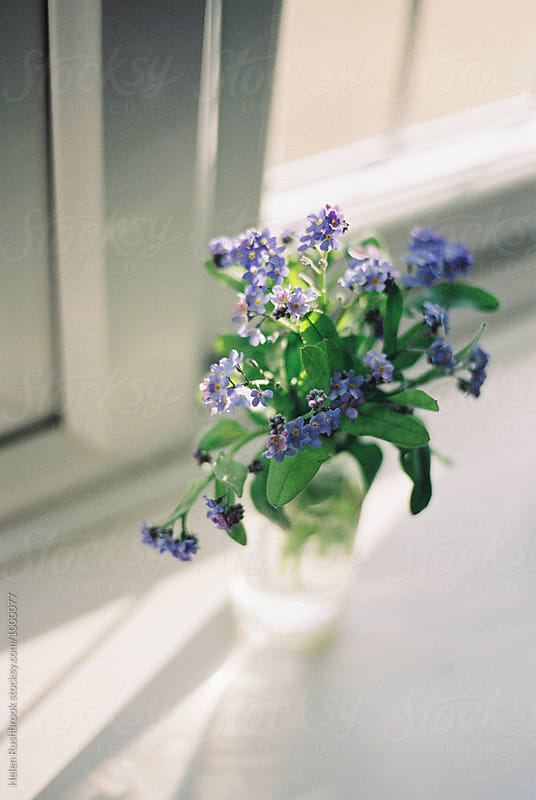 Forget Me Not flowers on a sunny windowsill. Film scan. by Helen Rushbrook for Stocksy United