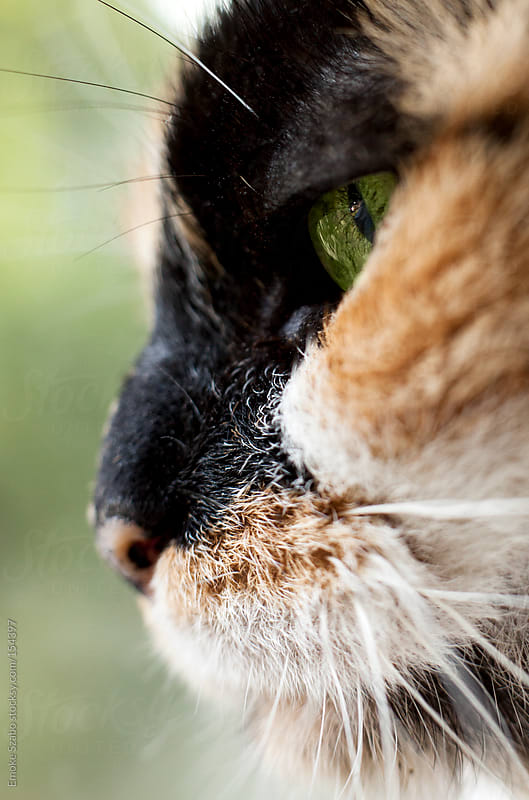 Close up portrait of green-eyed cat. by Emoke Szabo for Stocksy United