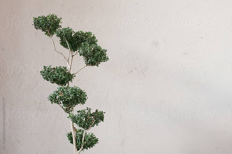 Stylish pot plant tree against white wall by Per Swantesson for Stocksy United