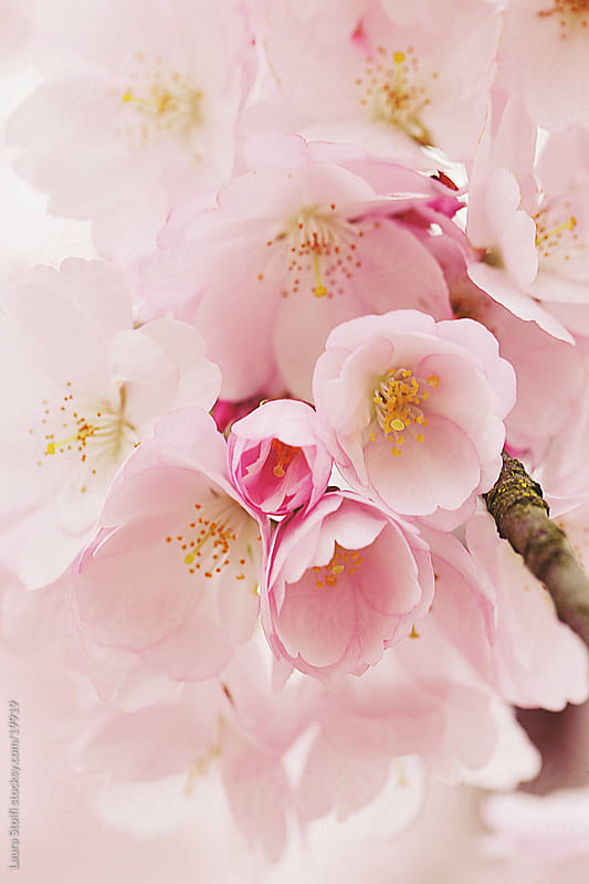 Pale pink cherry blossom by Laura Stolfi for Stocksy United