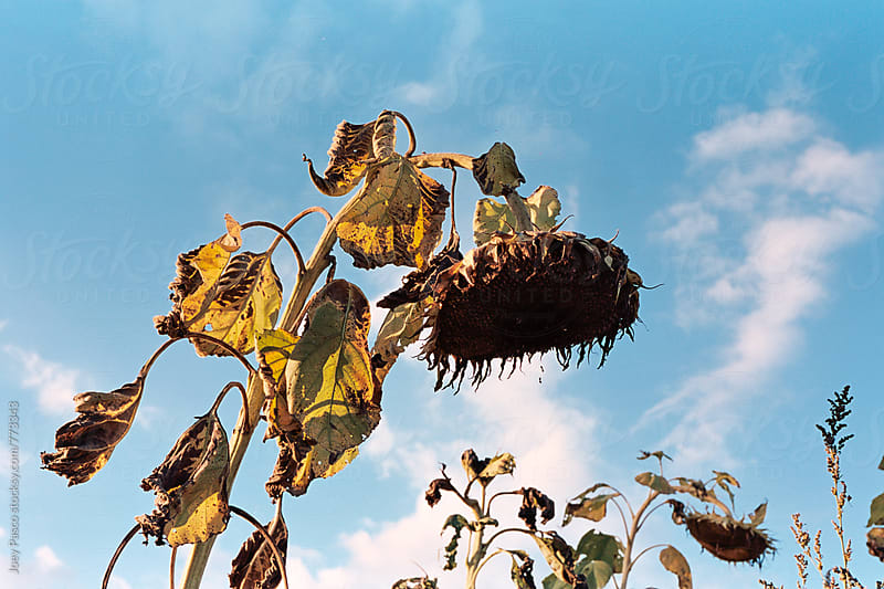 A dying sunflower slouches forward under blue skies on a summer evening by Joey Pasco for Stocksy United