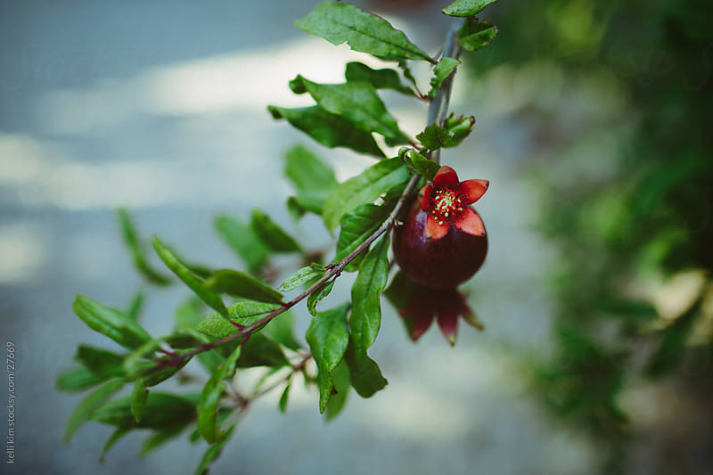 A pomegranate in blossom by kelli kim for Stocksy United