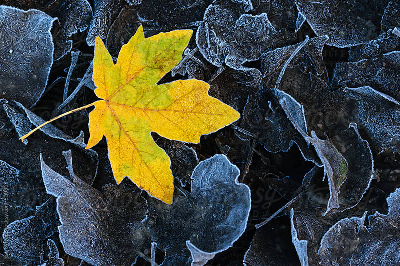 Golden Frosty Leaf by Rob Sylvan for Stocksy United
