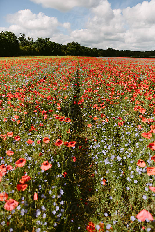Abundant field poppies growing among Linseed in a field. by Helen Rushbrook for Stocksy United