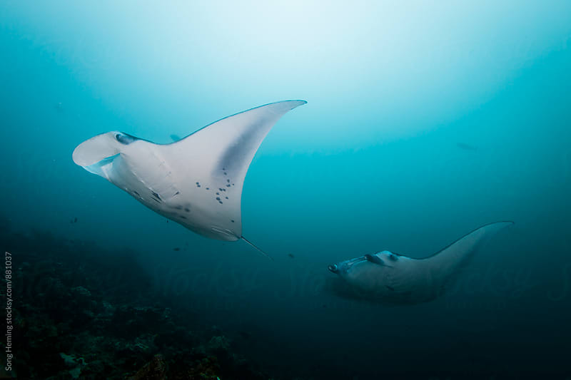 Manta ray by Song Heming for Stocksy United