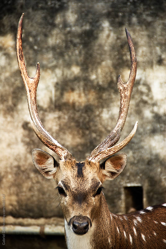 Portrait of young deer stag by Gabriel Diaz for Stocksy United