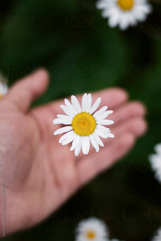 Person Holding A Daisy Flower by Jack Sorokin for Stocksy United
