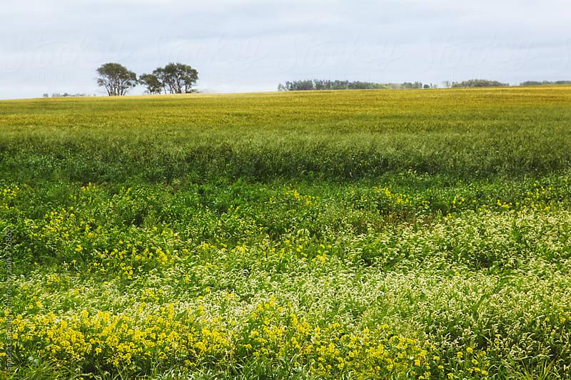 Prairie fields of wildflowers by Sandra Cunningham for Stocksy United