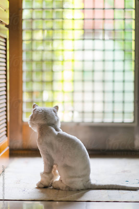 Tame white cat sitting and looking out from grid window by Lawren Lu for Stocksy United