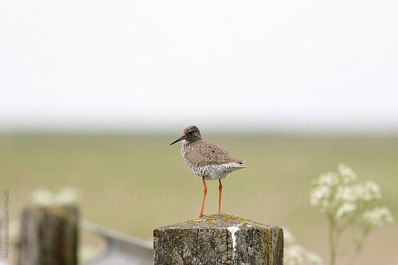 Common redshank typically standing on a pole by Marcel for Stocksy United