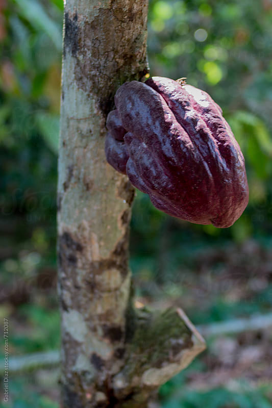 Cocoa tree with fruit, Chuao. Venezuela by Gabriel Diaz for Stocksy United