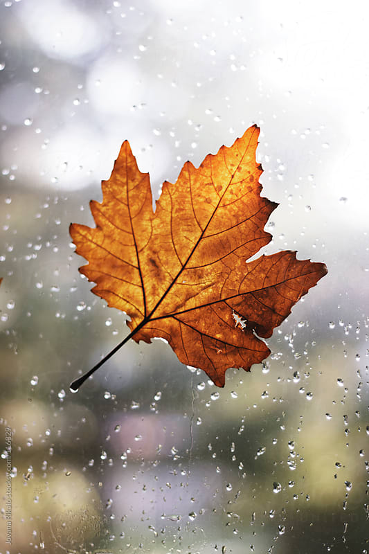 Maple leaf with rain drops attached on window  by Jovana Rikalo for Stocksy United